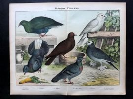 Kirby & Schubert 1889 Antique Bird Print. Rock Dove, Trumpeter, Pigeon, Fan Tail